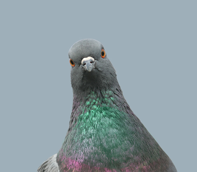 A pigeon looking inquisitive